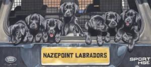 puppy portrait, pet portrait, labrador portrait