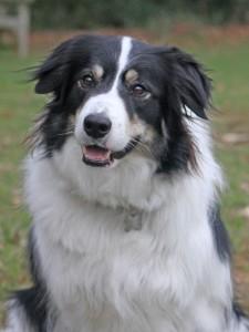 border collie, photograph, photo for pet painting, pet portraits, pet portrait