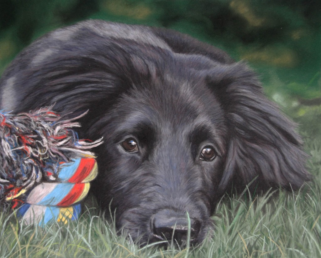 Previous dog portrait in pastels of Rebus the flatcoat retriever