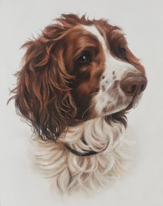Pet portraits, pet portrait, dog portraits, dog portrait, springer Spaniel, springer Spaniel portrait