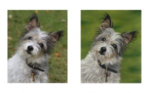 Dog portrait in pastels compared to the reference photo. Pet portraits from photographs
