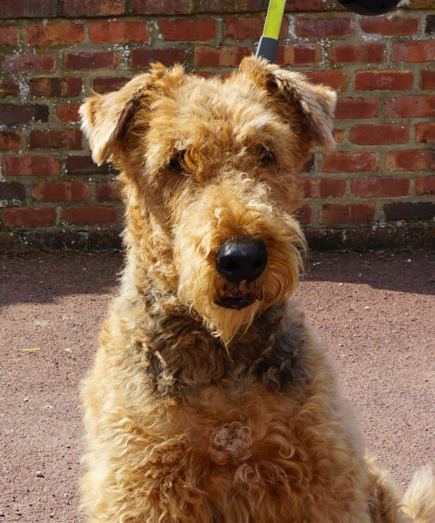 Airedale terrier reference photograph for a pastel pet portrait