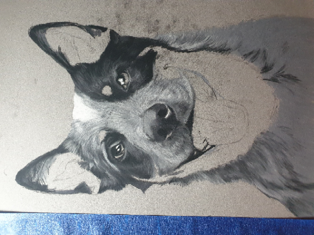 Progress photograph of the Australian cattle dog, blocking in the grey and black areas.