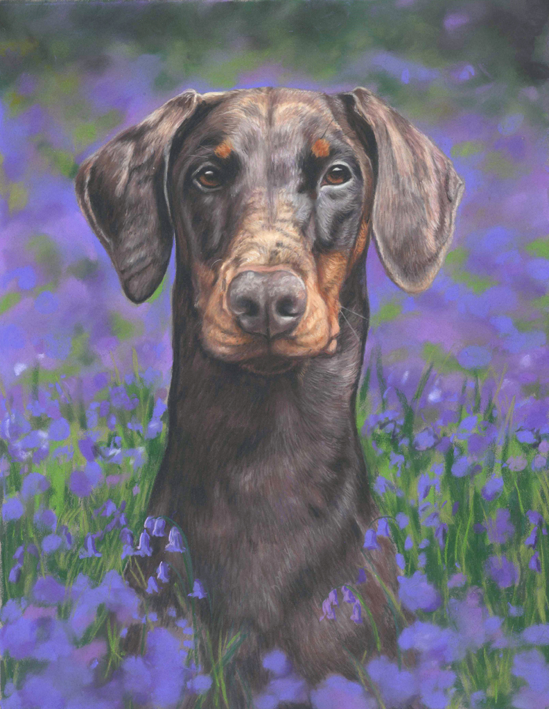 Ruby, doberman dog portrait in pastels. sitting in the bluebells.