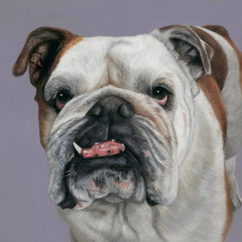 British Bulldog portrait in pastels, 11x11 inches with a darkish purple background