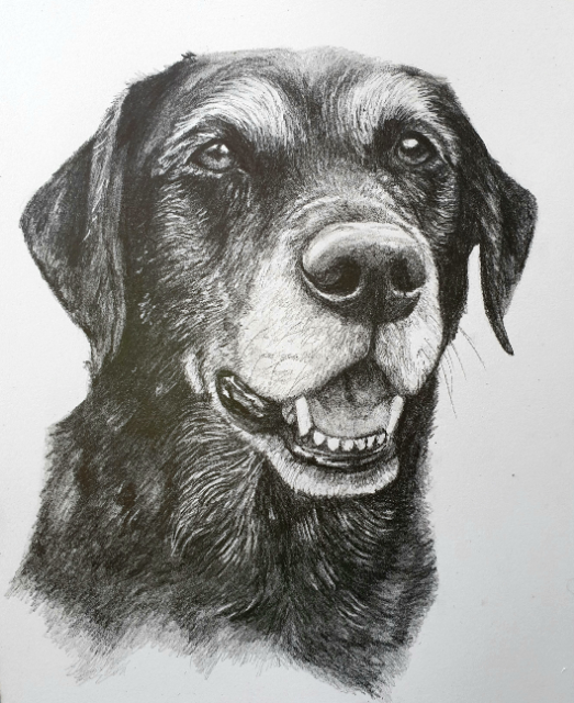 Remi, dog portrait in pencil. Portrait size 10x8 inches on arches HP paper