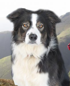 Reference photograph for a dog portrait in pastels. Border collie in front of fells