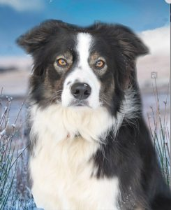 Reference for pastel dog portrait of a border collie called Marmo. Snowy background with blue sky