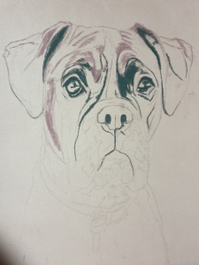 Outline drawing of recent dog portrait, Alfie the Boxer, in pastels