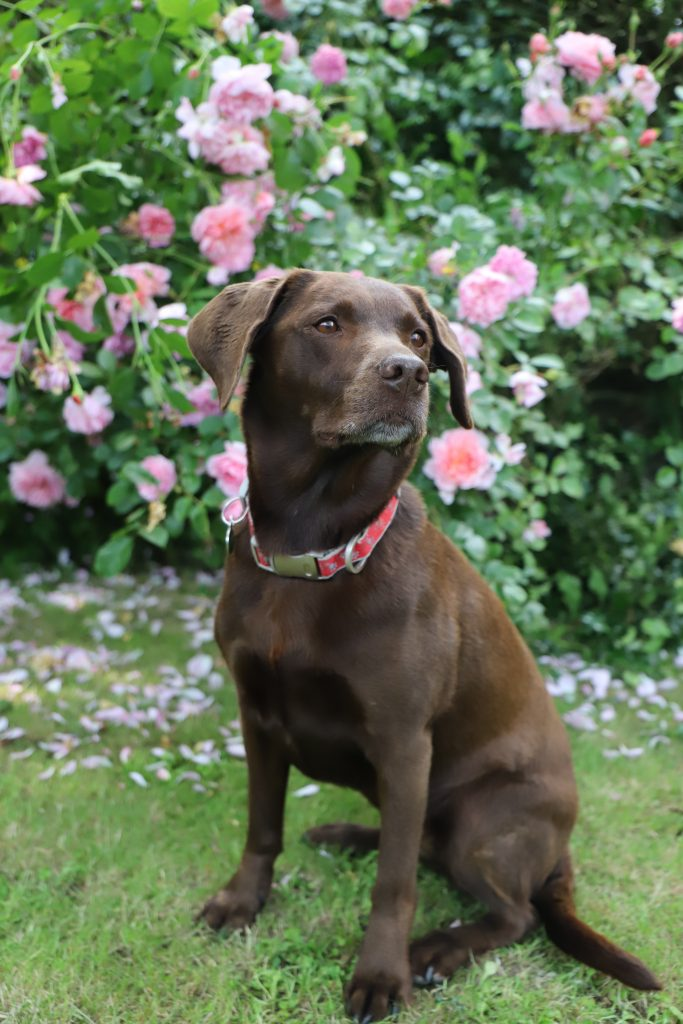 Fudge, reference photograph for his dog portrait. Sotting in front of a rose bush