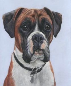 Alfie, dog portraits in pastel, A red boxer dog with a blye background