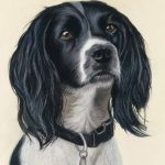Springer spaniel dog portraits in pastel, pet portraits uk