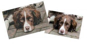 Pet portrait comparison to reference photograph of a springer spaniel dog portrait