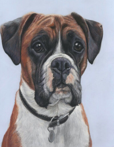 Boxer dog portrait in pastels with a blue background