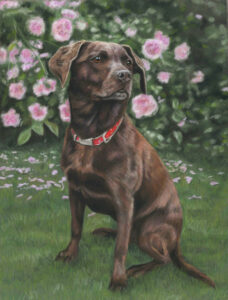 Fudge, dog portrait in pastels of a chocolate labrador infront of a rose bush