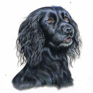 Cocker spaniel dog portrait in coloured pencil