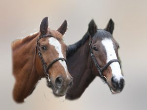 double horse portrait mock up