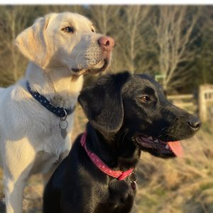 Photograph of two labradors