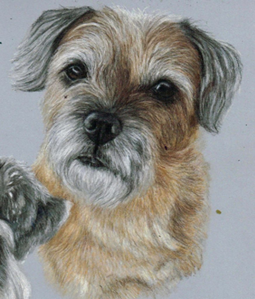 Border terrier dog portrait in coloured pencils