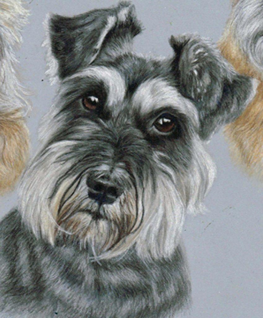 Schnauzer close up dog portrait