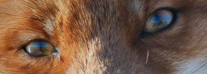 Fox green eyes