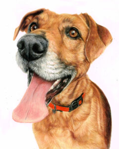 Monty. dog portrait in coloured pencils