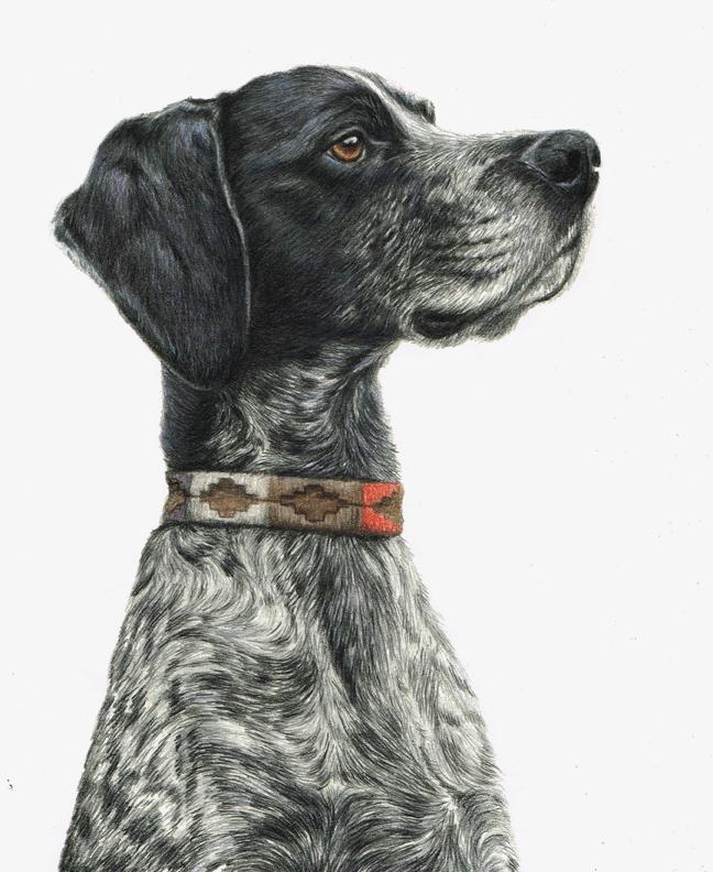 Chaos, coloured pencil dog portrait