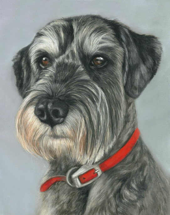 Minature schnauzer dog portraits in pastel