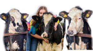 Composition mock up for cow portrait