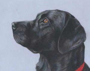 Black Labrador pet portrait