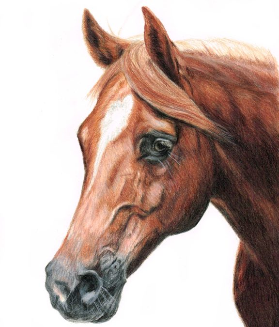 Horse Portrait in Coloured Pencil
